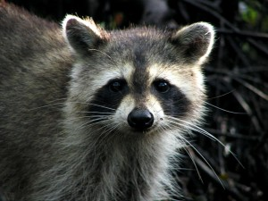 1024px-Raccoon_-_Jonathan_Dickinson_State_Park
