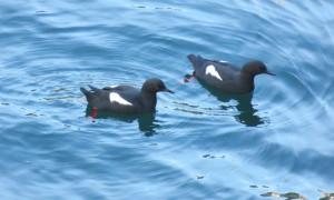Pigeon_Guillemots-Orcas_0310-1024