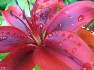 Raindrops_On_Tiger_Lilies_(172675287)